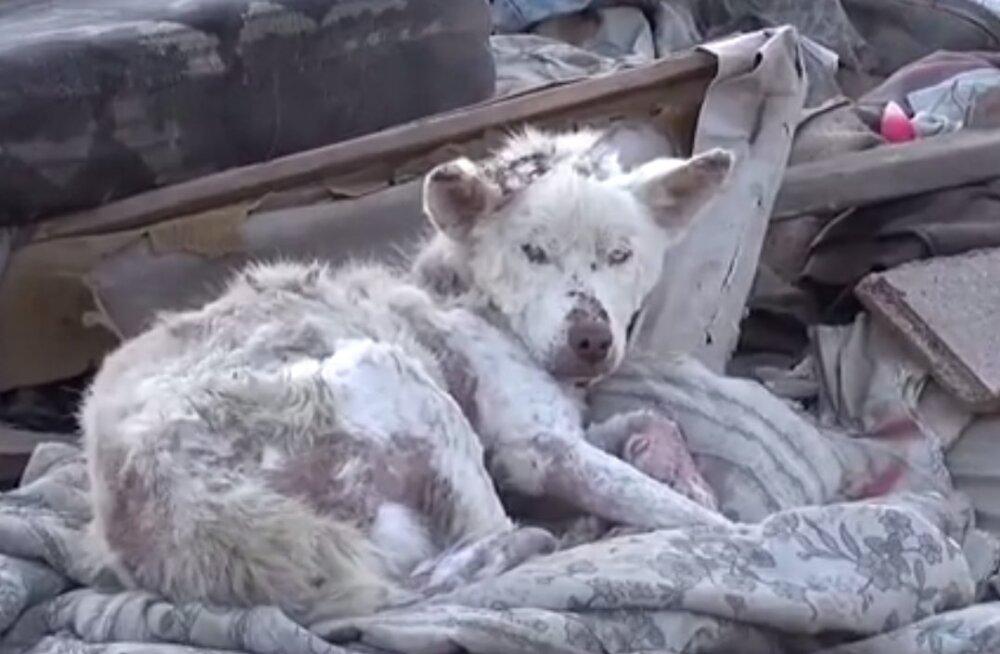 VIDEO | Liigutav lugu lootuse kaotanud koerast, kes elas prügihunnikus, kuni juhtus midagi tõeliselt imelist