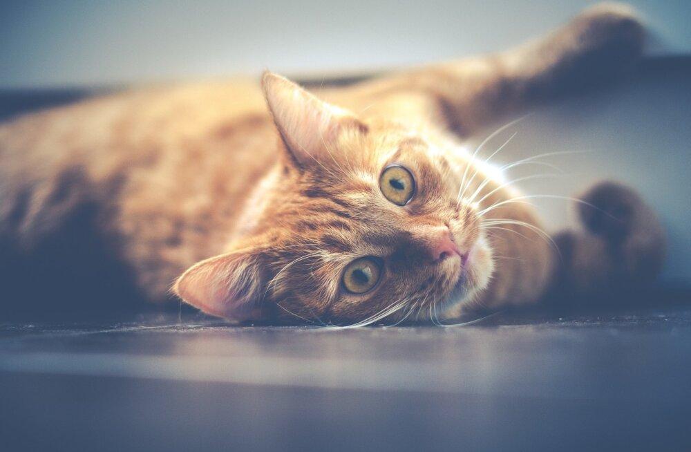 Muhe TEST: Kas kass on sinu hingeloom? Vaata järgi, millise kiisuga kõige enam sarnaned