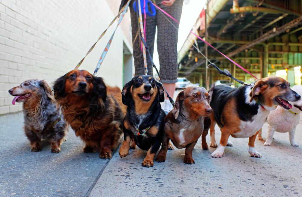 Eestlaste suur algatus: koeraomanikud, alustagem täiesti uue koerajalutamise trendiga!