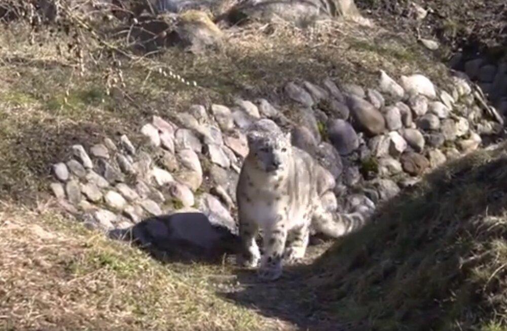 VIDEO   Loomaaia lumeleopard Otto III lubati külastajate ette patseerima