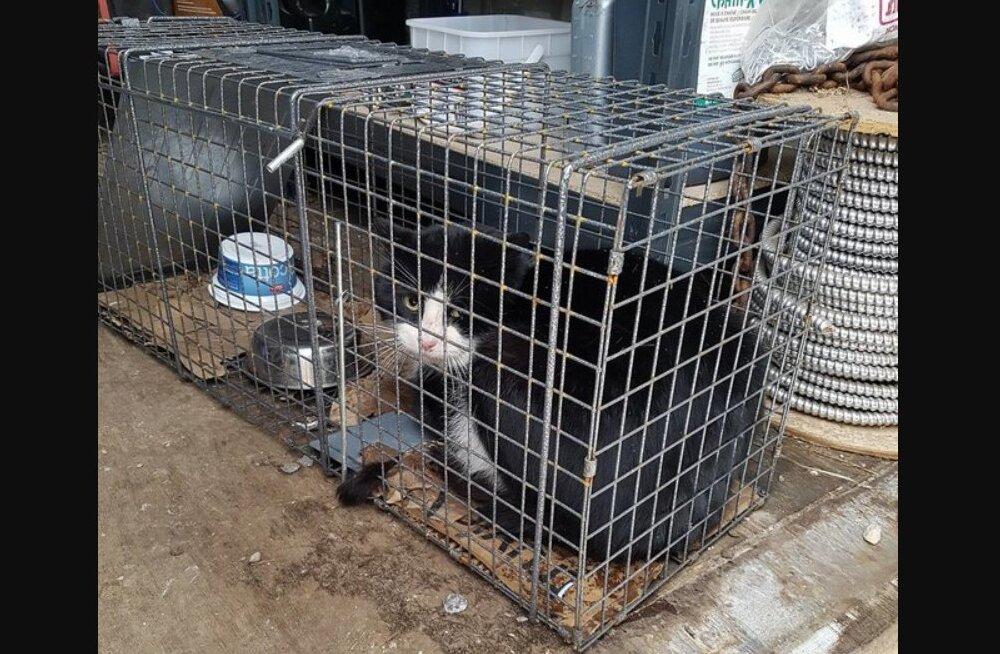 VIDEO   Keegi ei teadnud, mis juhtuma hakkab, kui see metsik kass oma helkivad silmad köögiaknast sisse pistis ja majaomanikku nägi