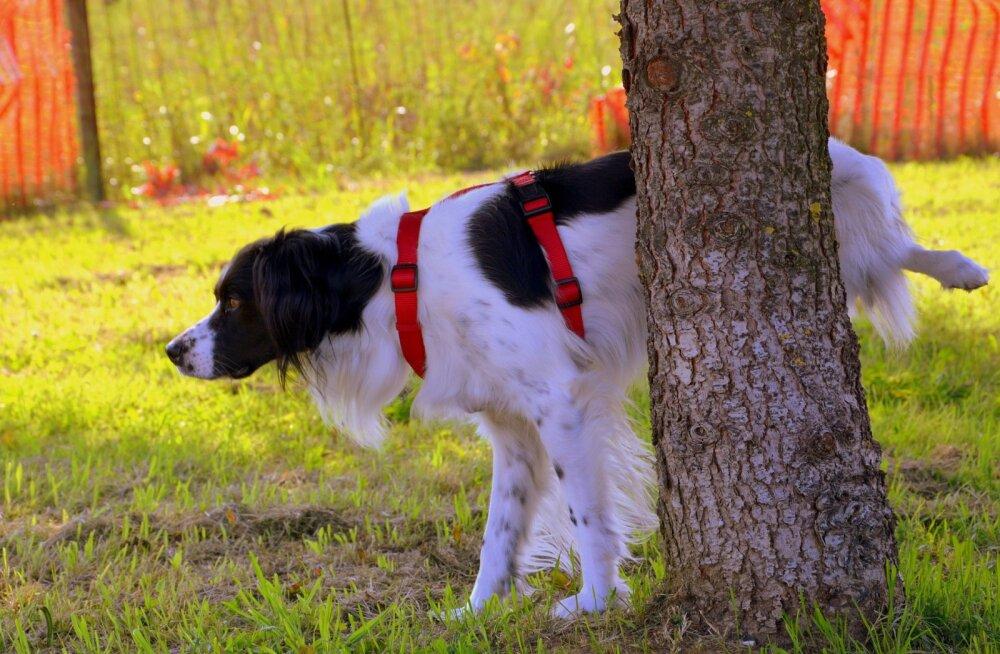 Miks koer peale häda tegemist maapinda kraabib?