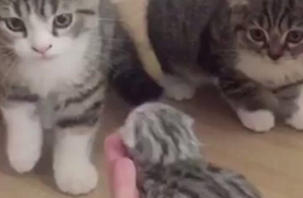 Armas VIDEO: Vaata, kuidas reageerivad pere kassid, kui neile uut imepisikest pereliiget tutvustatakse