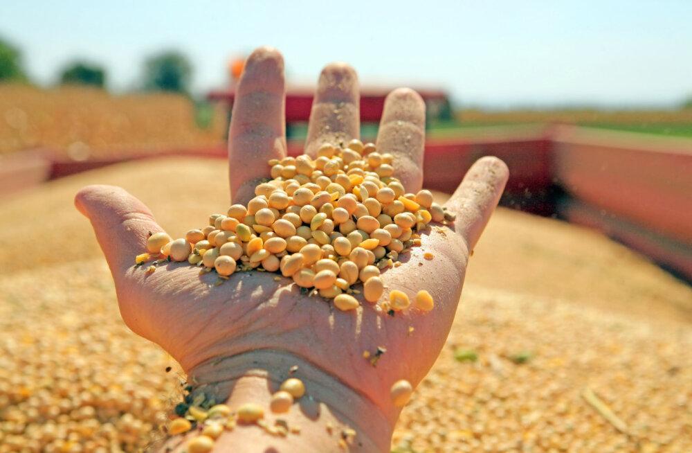 Kuidas on seotud gluteenitalumatus ja GMOd?