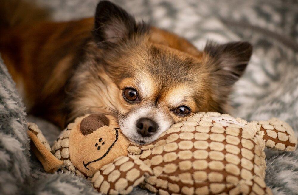 Väike koer: kas tõesti nii rumal, häälekas ja tige kui arvatakse?