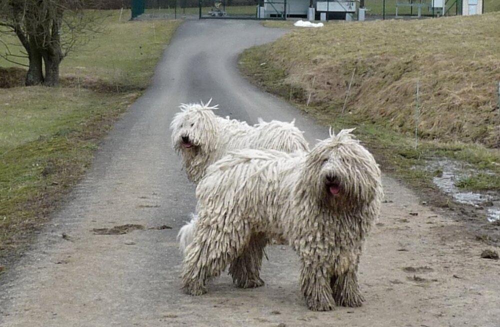Komondor - koer, kelle leebe välimuse taga peitub tugev kaitsjainstinkt