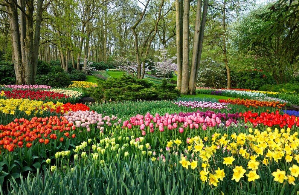 Королевский парк в Нидерландах: успеть посетить в мае и увидеть более 7 миллионов цветов!