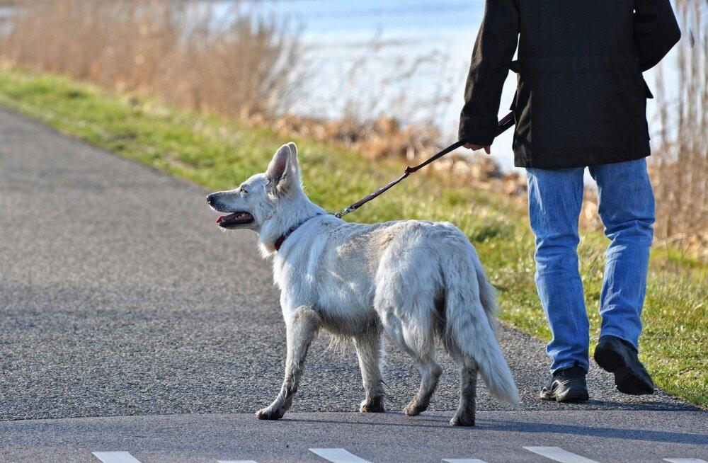 Koeraga jalutamise ABC: kuidas koeraga tegelikult jalutama peab?