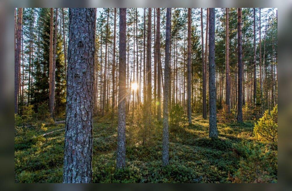 Riigimetsa istutatakse tänavu 18 miljonit puud