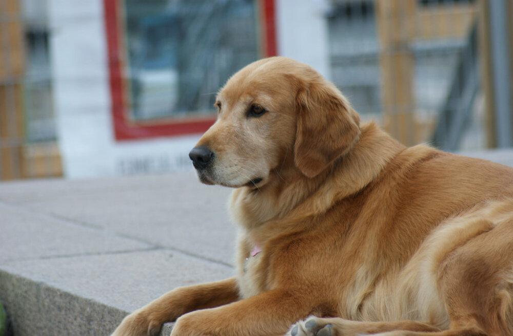 Teadlased kinnitavad: tõuaretus võib koera kasuka rikkuda
