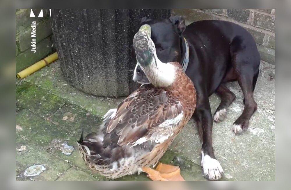 NALJAKAS VIDEO | Vaata, kuidas part puhastab koera karvkatet