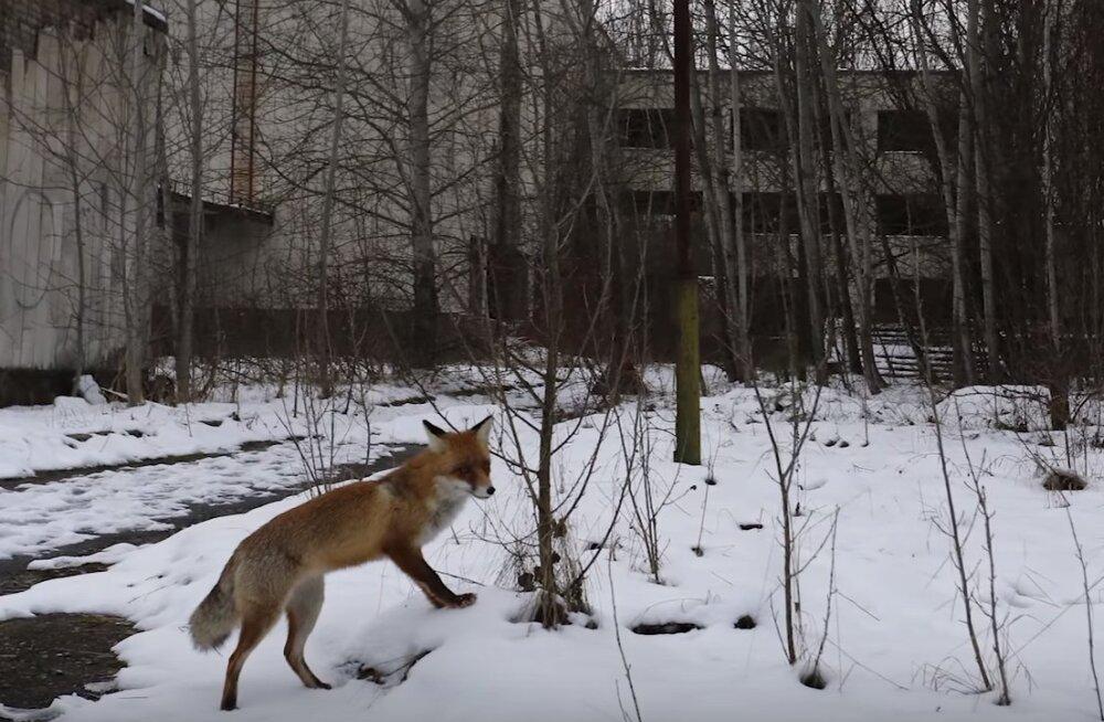 Tšernobõli keelutsooni telgitagused: teadlaste üllatuseks hulgub metsades ringi oodatust rohkem loomi