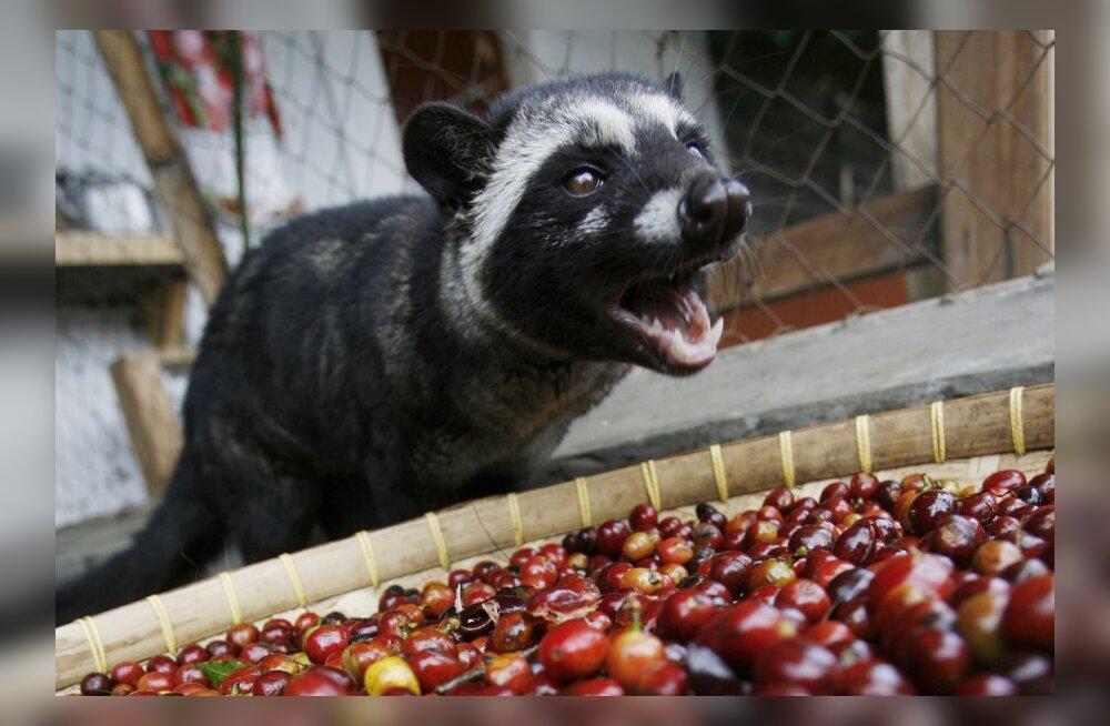 Linnusülg ja läbiseeditud kohv: huvitavaid viise, kuidas inimesed loomade kehaeritisi kasutavad