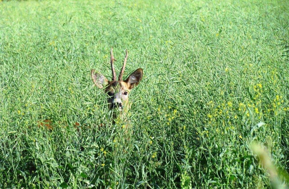 Leili metsalood | Jaanisokk ja suvetööd
