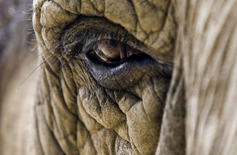 Zimbabwes kukkus elevant pärast kuulitabamust jahimehe laiaks