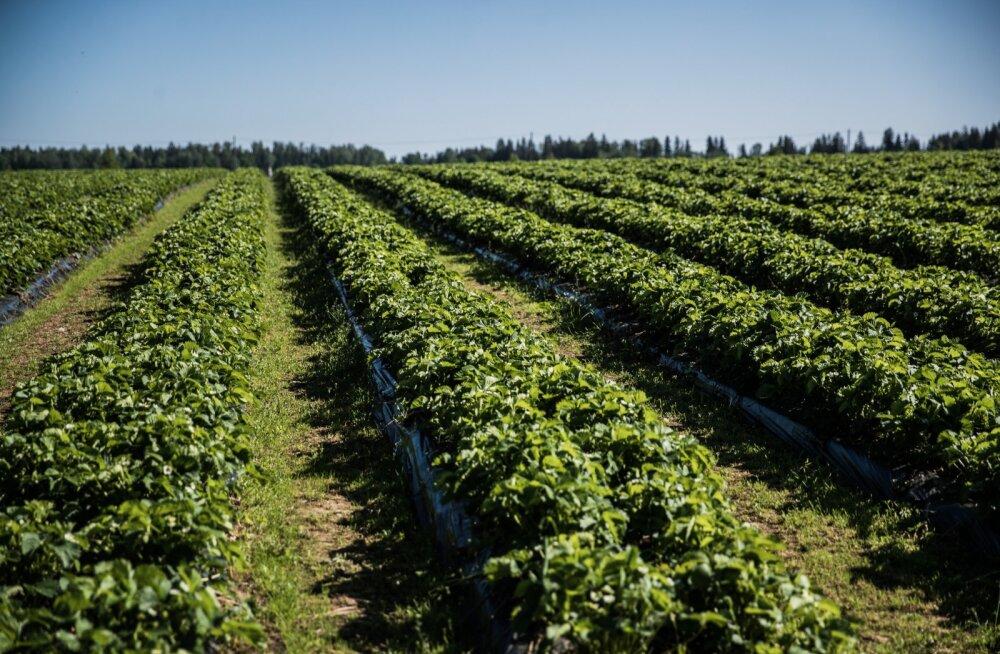 Helsingin Sanomat: ilma ja pandeemia vastu võitlev Soome maasikakasvataja saab loota ainult ukrainlastele, aga neid ei ole piisavalt
