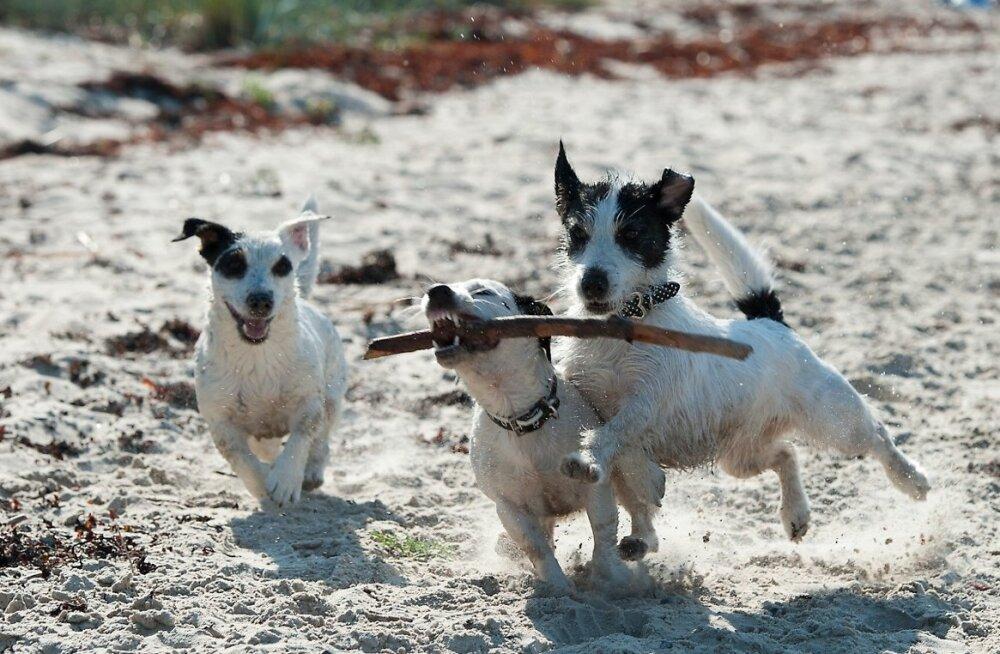 Koer, Jack Russell terjer