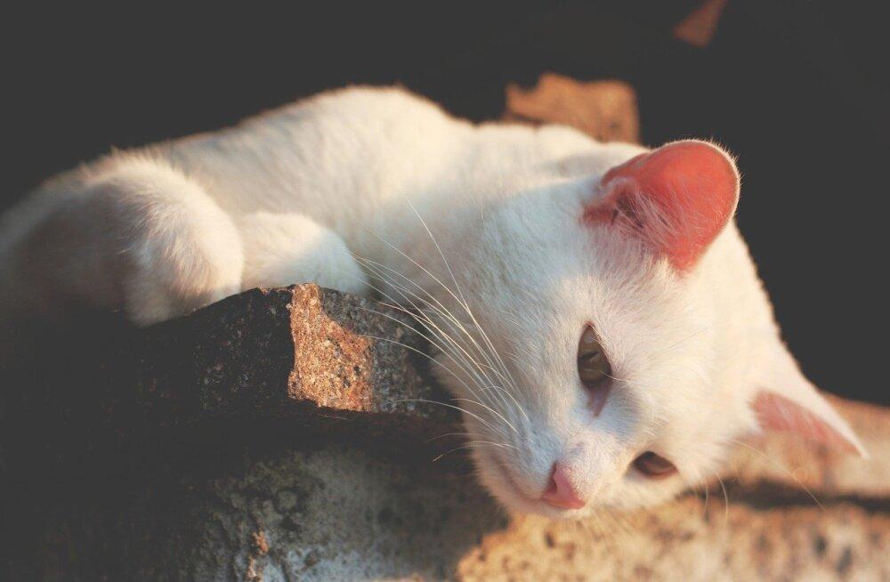 10 fakti   mida huvitavat võiks teada kassi kõrvade kohta?
