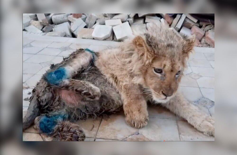 Putin nõuab uurimist lõvikutsika käpad murdnud fotograafi suhtes