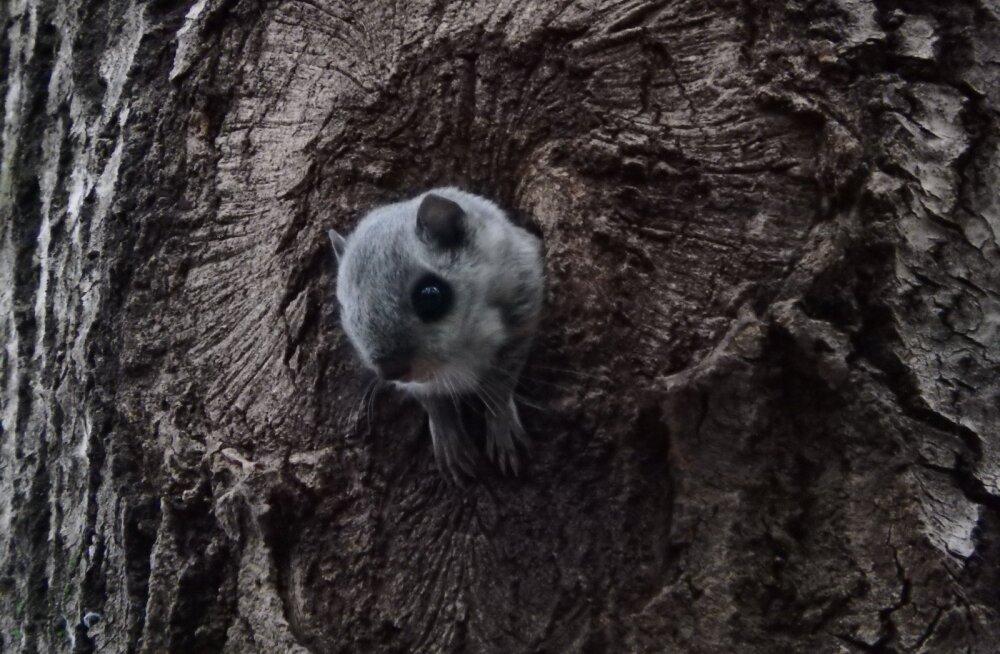 Lendorav – loodusesõprade arm ja metsaomanike hirm. Milleks teda kaitsta?