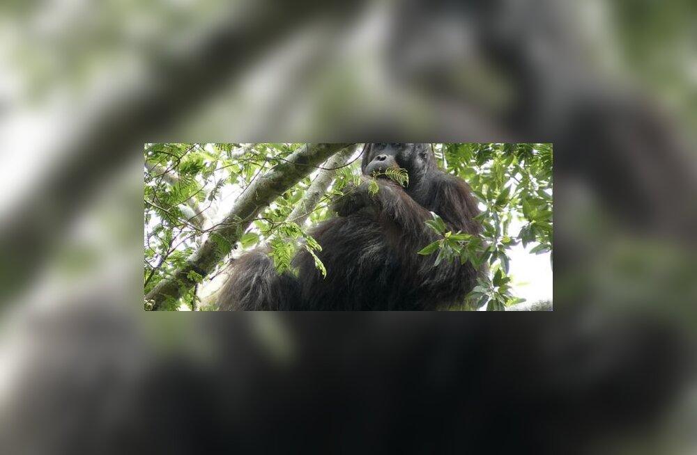 Toiduainefirmat süüdistatakse ahvide elupaikade hävitamises