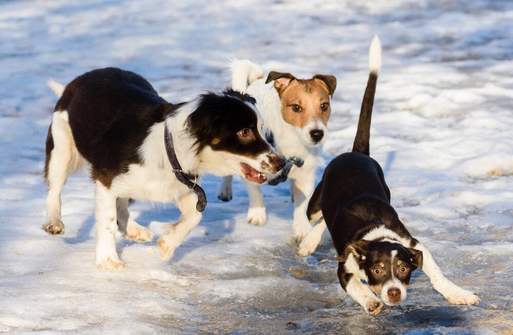Koerte võimlemistreener jagab väärt nippe, et koer end libedal ajal ei vigastaks