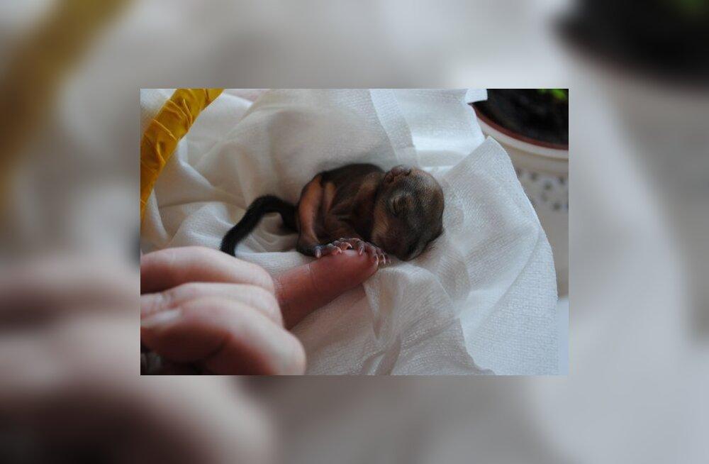 FOTOD: Arstid võtsid oma hoole alla vastsündinud oravapoja