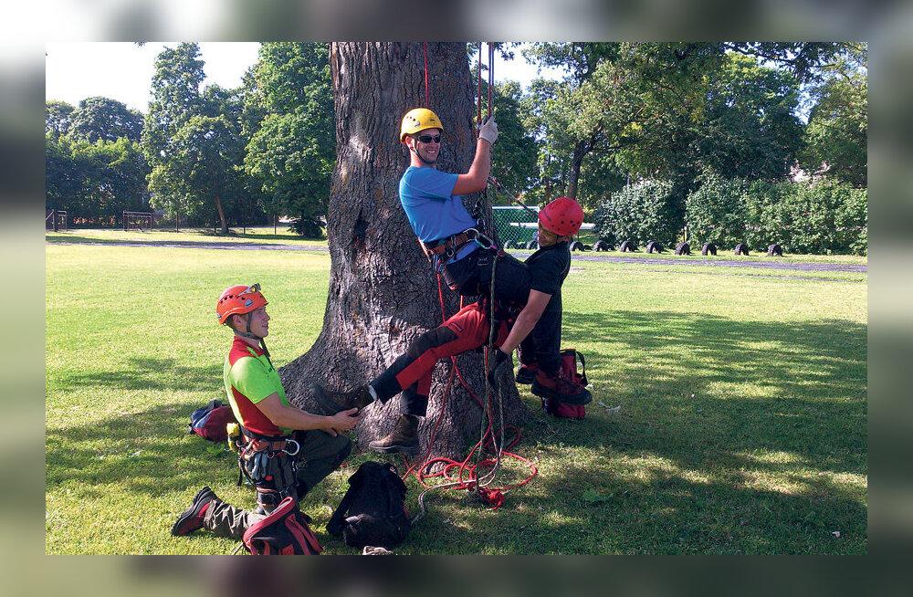 Arborist aitab linnapuid hoida ja väärtustada
