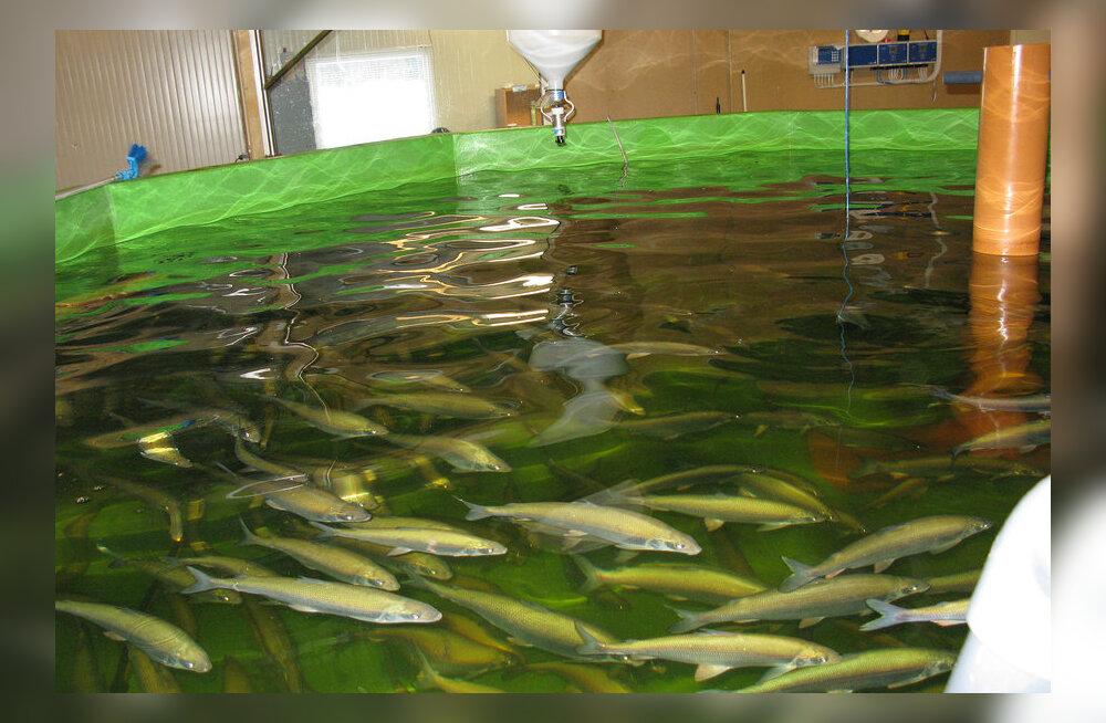 Eesti kala otsib turgu