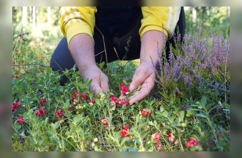 Mitu head põhjust süüa rohkem metsamarju