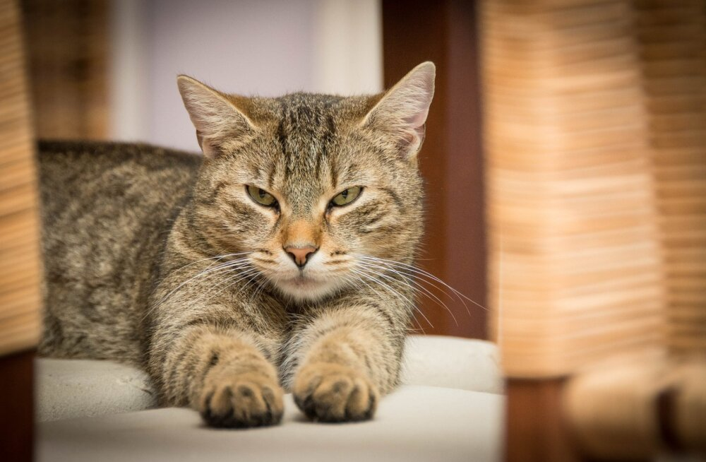 Kuidas kassid head käitumist õpivad? Vastus võib sind üllatada
