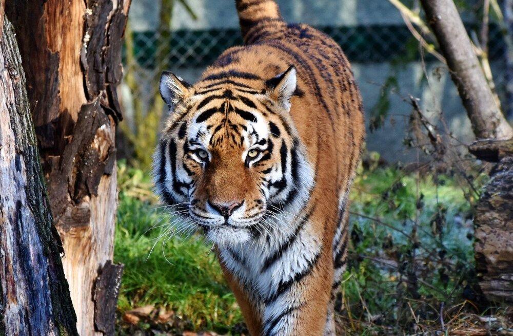 ÜRITUS | Tallinna loomaaia tiiger ootab pikisilmi uut kodu