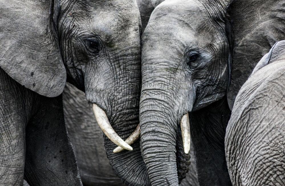 Juba teine Aafrika riik tegi lühikese aja jooksul elevantide populatsiooni vähendava otsuse