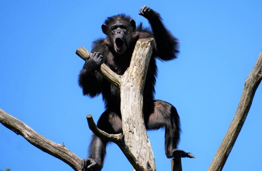 Tutvu inimese lähimate sugulastega: Tallinna loomaaed tutvustab täna šimpanseid