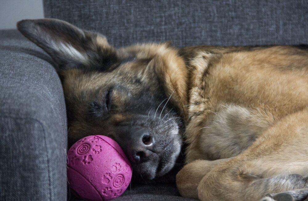 Koer haugub ja jookseb unes: kas ka lemmikloomad võivad unes kõndida?