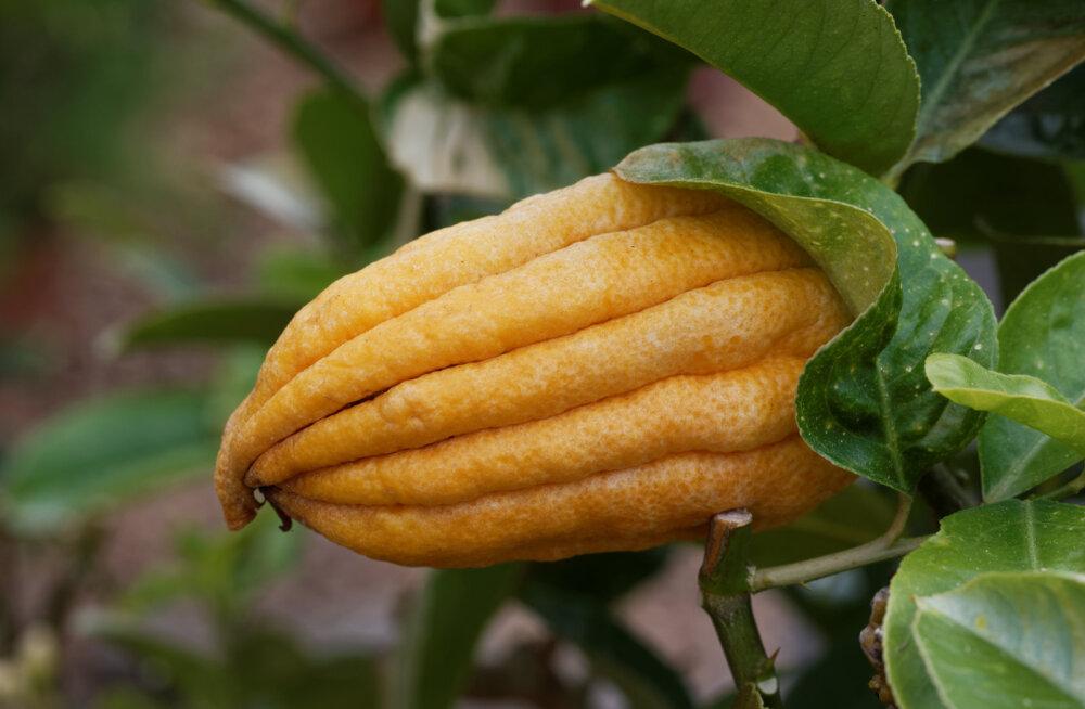 Veidra kujuga buda-näsasidrunipuu vili meenutab kätt.
