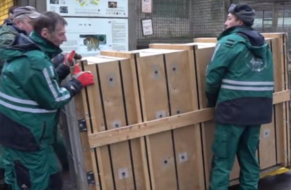 VIDEO | Tallinna loomaaia amuuri tiiger Pootsman sõitis täna Tšehhi