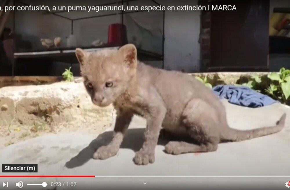 VIDEO   Vaat kus lops! Kassipoja pähe tee äärest päästetud loom osutus ohtlikuks kiskjaks
