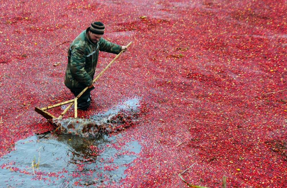 BELARUS-AGRICULTURE-CRANBERRIES-FEATURE