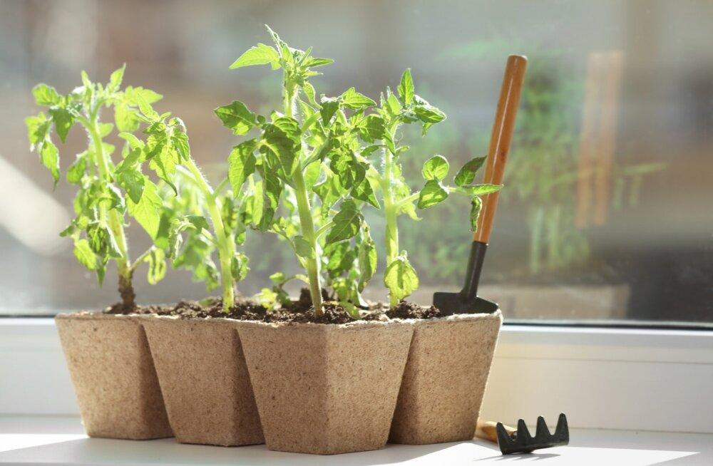 Taimed vajavad kasvamiseks piisavalt valgust.