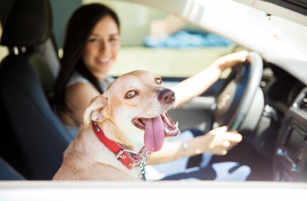 Su koeral on meeletu hirm autosõidu ees? Proovi neid väärt lahendusi