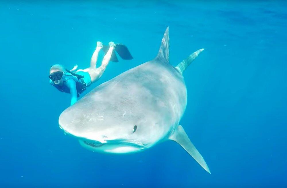 VAPUSTAV VIDEO | Ujumine koos tiigerhaidega: kas julgeksid iial teha midagi sellist nagu need sukeldujad?