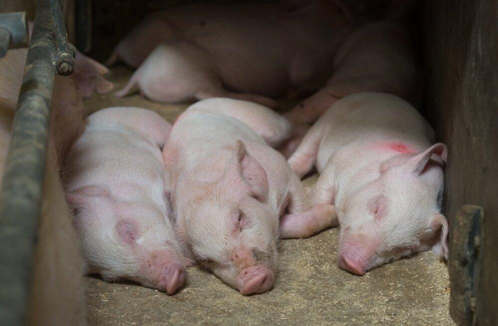 Ekseko sigala põrsad armastavad sooja ja saavad seda nüüd bioküttest.