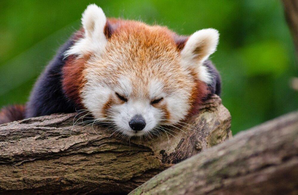 VIDEO   USA loomaaias nägid ilmavalgust haruldased punase panda pojad