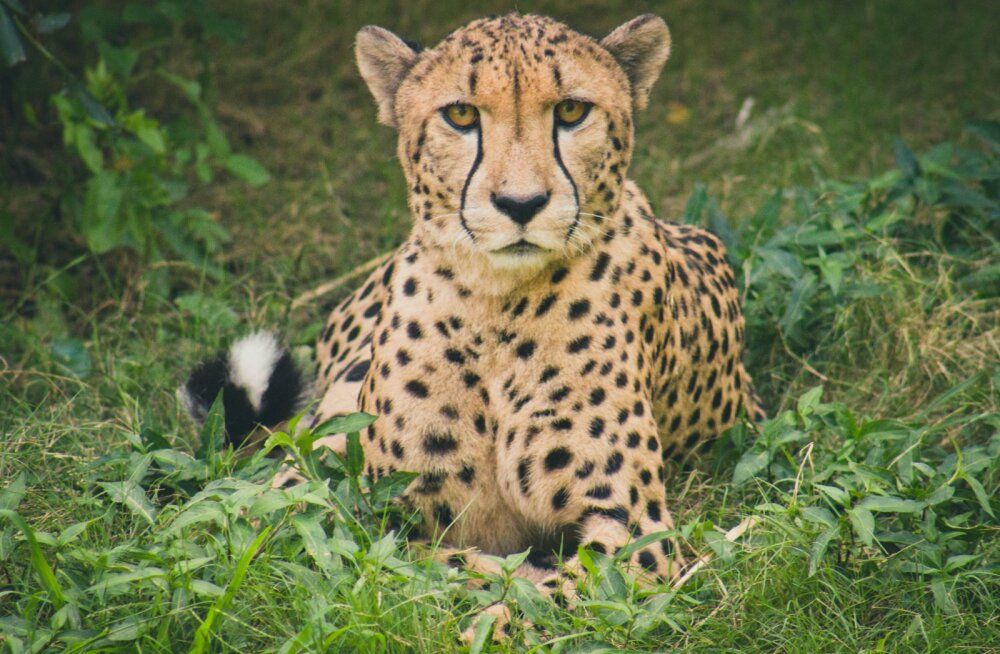 Kas teadsid, et gepardid näuvad ja nurruvad nagu kodukassid?