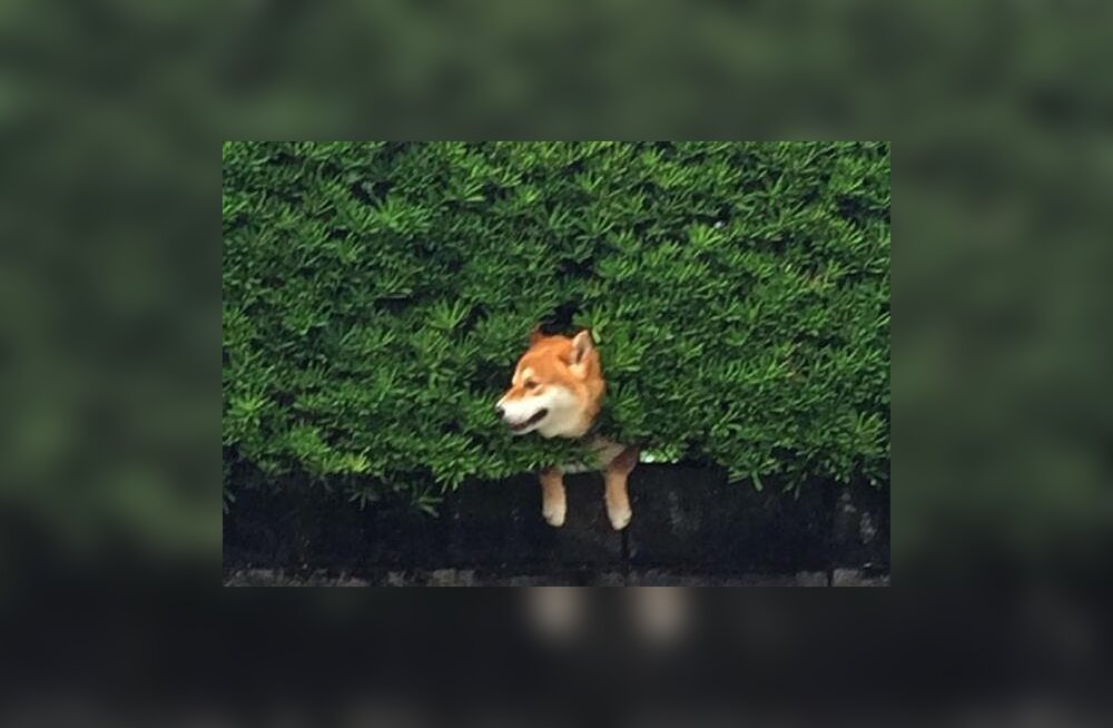 Hirmnaljakad fotod: põõsasse kinni jäänud koerast on sündinud uus interneti sensatsioon