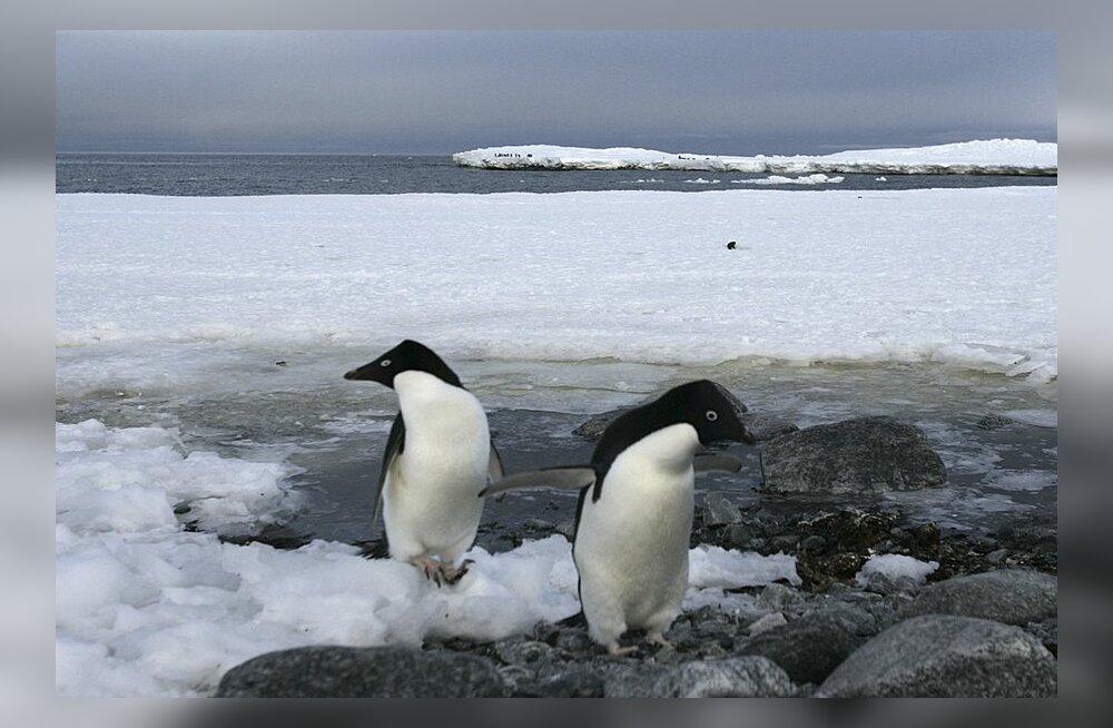 Leiti sajanditagune kirjeldus pingviinide šokeerivatest seksuaalkommetest
