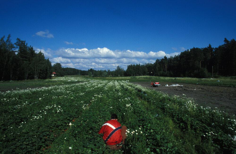 Soome valitsus leppis kokku veel 3000 põllumajanduse hooajatöölise sissetoomises peamiselt Ukrainast