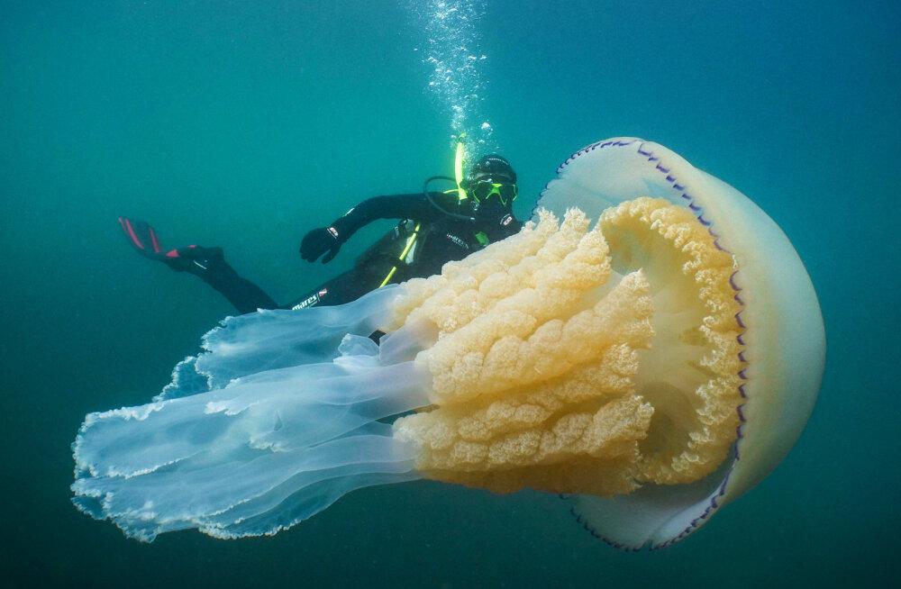 HARULDANE KOHTUMINE | Inglismaal jäi kaamera ette inimesesuurune meduus