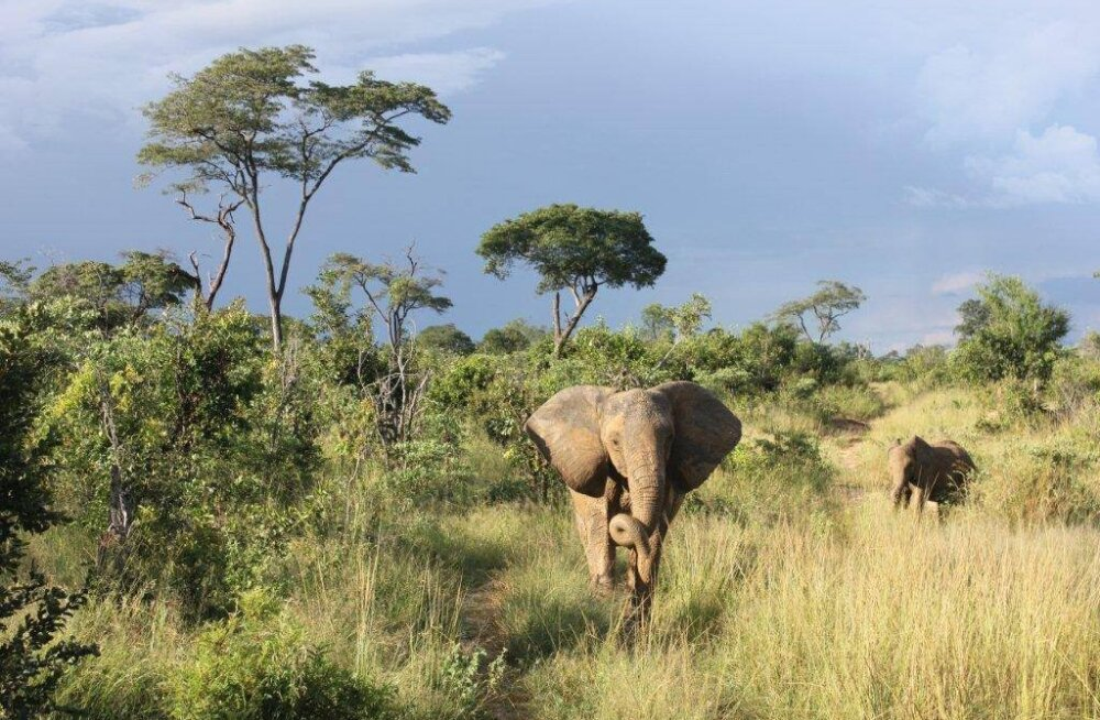 Mõistatuslikud surmad: Aafrikas jätkub elevantide salapärane hukkumine